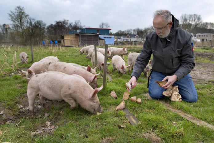 Johan Wielenga van NoordOogst houdt scharrelvarkens. | Erik Veld